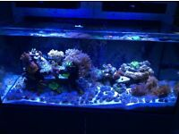 Coral - Pulsing Xenia frags