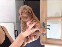 Pedigree Toy Poodles ( Ready Now)