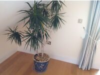 "Large Indoor Plant Mature Yucca 5'6"" Tall in a Large Blue Pot"