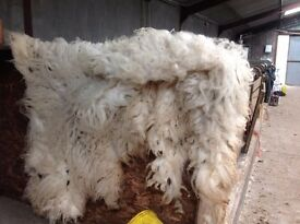 Wool/fleece from a Valais Blacknose sheep