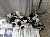 Border / Merle collie puppies
