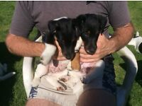 Pedigree Smooth Fox Terriers, 2 males, KC registered, Ready Now