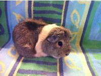 Guinea Pig Short coated adult sow