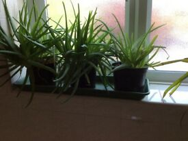 Adult aloe Vera plants in pots. Various sizes therefore various costs. From £10 to £30
