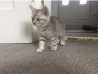 3 stunning sliver striped male looking for a good home £200 each, they are extremely playfull