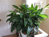 Large Peace lily in 36cm tub . Plant is appx. 102 cm wide .Is suitable for large conservatory etc.