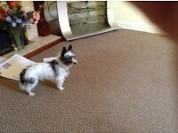 7 year old cross Jack Russell Yorkshire terrier in need of a good home, as his owner is ill .