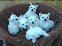 Beautiful Westie Puppies for Sale!