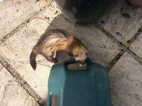 Two female Ferrets