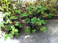 2 lots of 3 x trio pot stacking planters - black, with strawberry plants in each pot