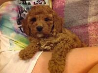 Red F1b Cockapoo girls for sale ready now