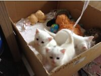 Pure white kittens for sale to loving homes.