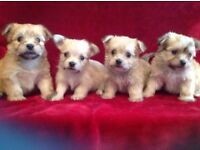 Beautiful small Maltese x chihuahua (Malchi) puppies non moulting and very loving