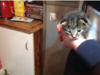 Gorgeous kittens - £150 looking for good homes - just 2 boys left