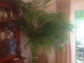 HUGE INDOOR PLANT-KENTIA PALM-HOWEA FORSTERIANA-IN SPECIALIST EASY CARE POT