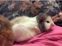 Two female Guinea pig