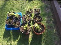 Small Hoster Plants - £5.00 and £3.00 per pot