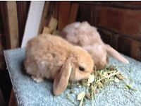 BABY MINI LOP BUNNY RABBITS FOR SALE
