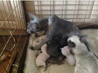 Siamese and oriental kittens for sale boys and girls few colours
