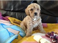 Stunning F1 poochon puppy LAST 1 LEFT ready now