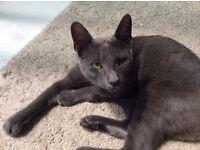 Missing Little Grey Cat
