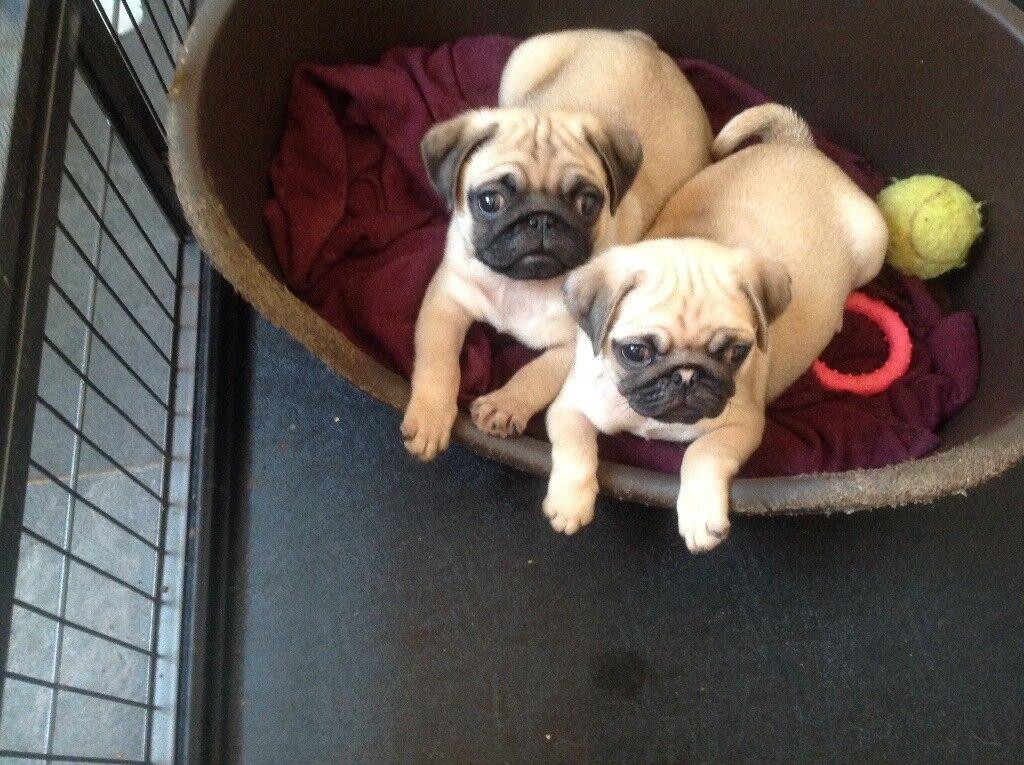 Fawn pug puppies kc reg