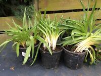 Bluebell plants
