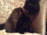 Persian Female Cat For Sale