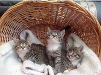 Siberian Beautiful kittens ready now