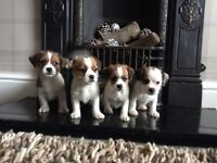 Jackshit Puppies For Sale. 3 boys 1 girl.