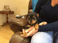 Miniature chihuahua x shitzu puppies