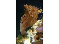 red pulsing Xenia coral 10cm tall.