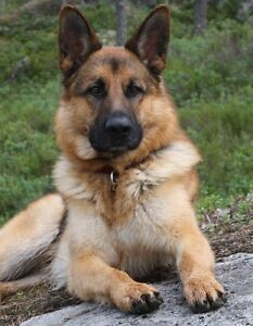 Service Gratuit Berger Allemand German Shepherd Free Service