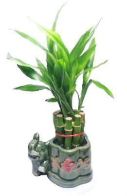 Lucky Bamboo Live Plant 10 Stalks Indoor Houseplant Best GIft (10 Best House Plants)