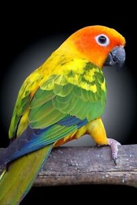 Looking for a sun conure!
