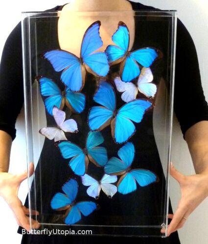 Real 3D Framed Morpho Butterfly Art - 12x18 Acrylic Frame