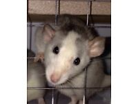 Gorgeous Husky Female Rat