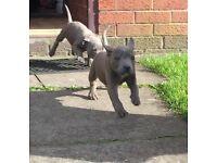 Blue Staffs Pups