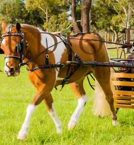 3 Stunning Registered Ponies For Sale Mundijong Serpentine Area Preview