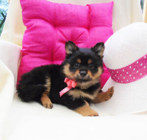 So Cute!  Fluffy Pomeranian puppies ready to go to new homes