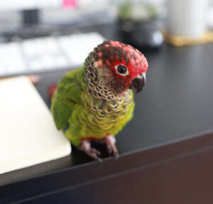 ❤Baby Roseifrons❤ Parrot Conure + Cage FullEquiped + toys + food