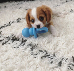 Looking for healthy Blenheim cavalier female puppy!!!!