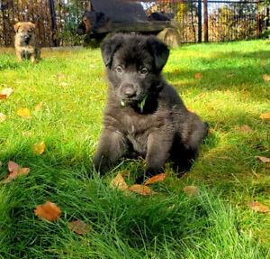 TOP PEDIGREE German shepherd dog FEMALE puppies for sale