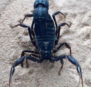Black fat-tail scorpions available