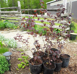 Purple Hazel trees - young own-root saplings