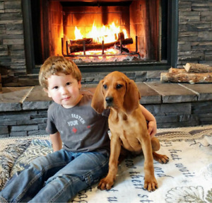Red Bone Coon hound for sale