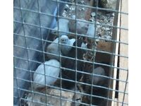 Chinese painted button quail chicks