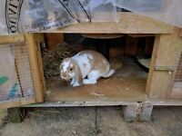 2 cheeky Mini lop boys looking for forever homes!