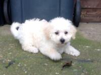3/4th POODLE GIRL £450