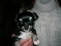 Chihuahua long coat male pup for sale
